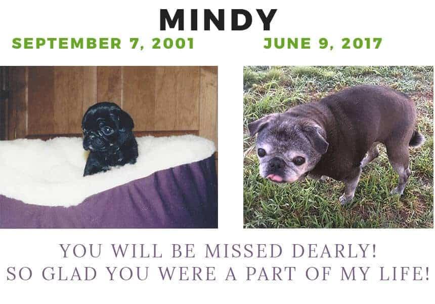 Mindy my pug tribute