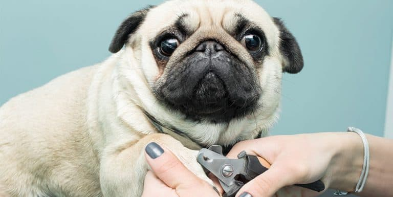 how to trim a pugs nails