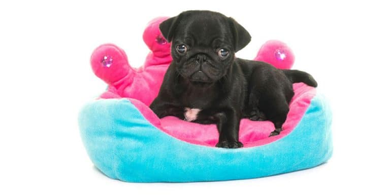 pug puppy training