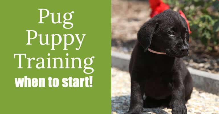pug puppy training
