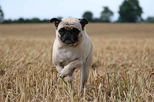Pugs tend to go crazy