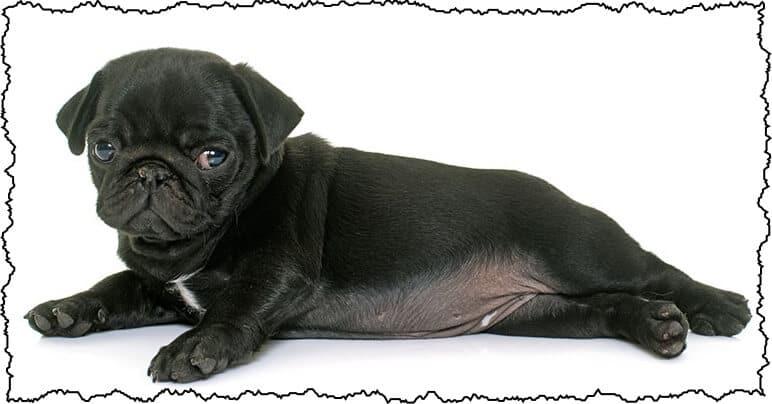 pug personality traits