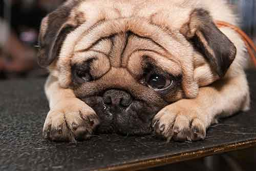 Pugs common health issues