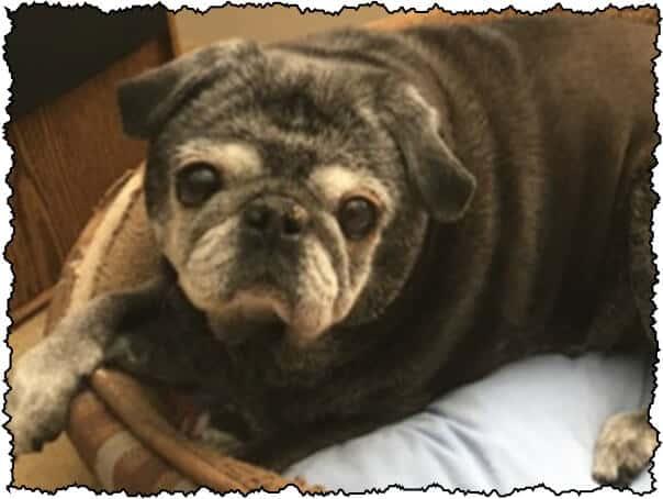 senior black pug