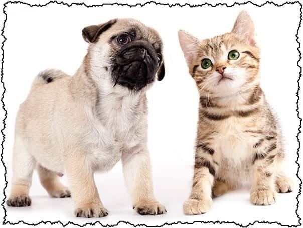 introducing pug to kitten