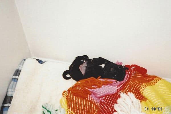 pug sleeping on back