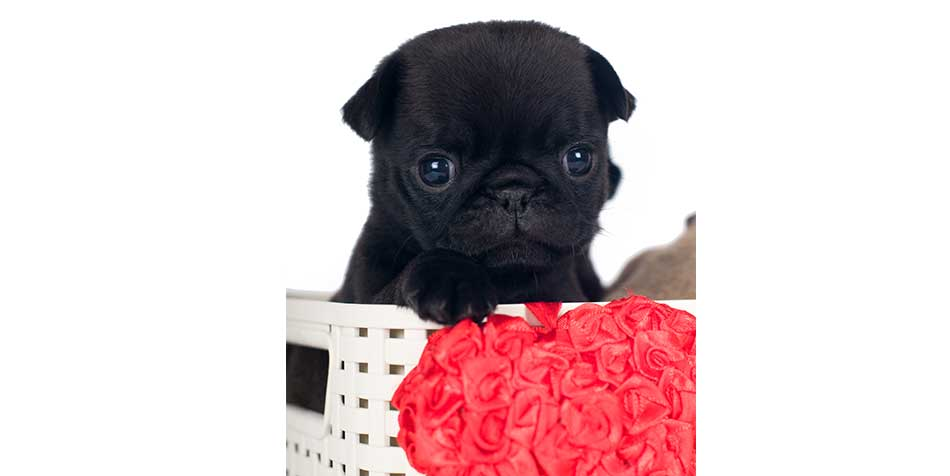 Teacup Pugs What You Need To Know About