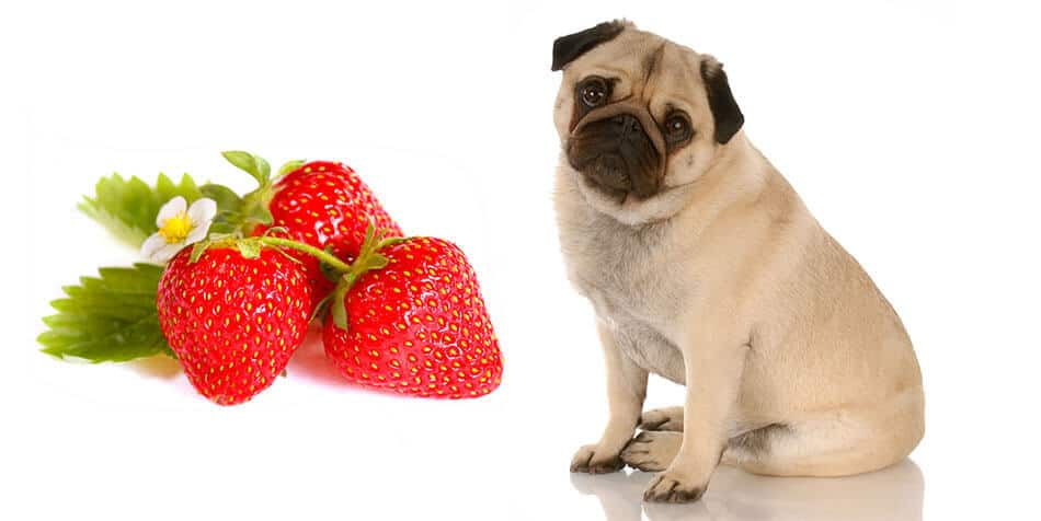 can pugs eat strawberries