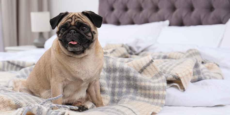 are pugs low energy