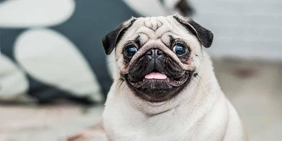 are pugs smart dogs