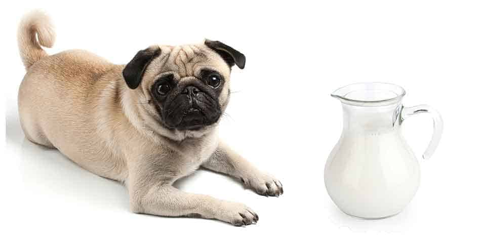 can pugs drink milk