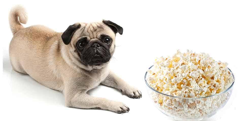 can pugs eat popcorn
