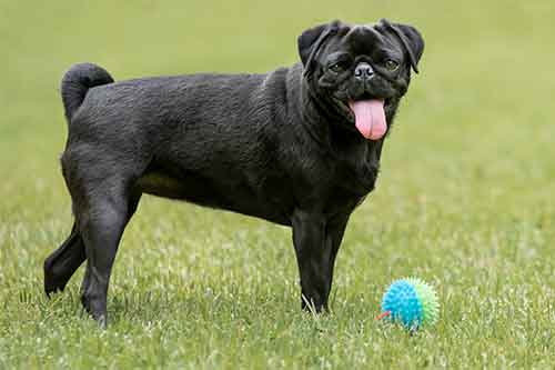 can pugs play fetch