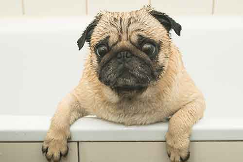 how often should you bathe a pug