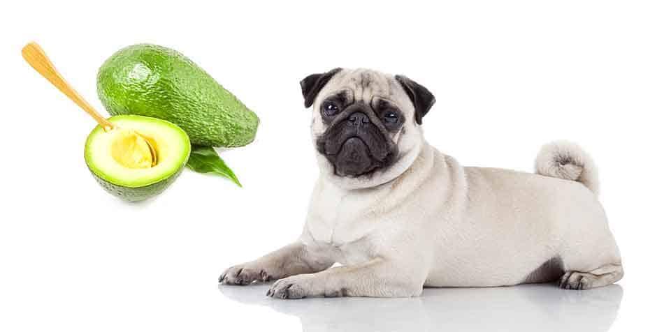 can pugs eat avocado