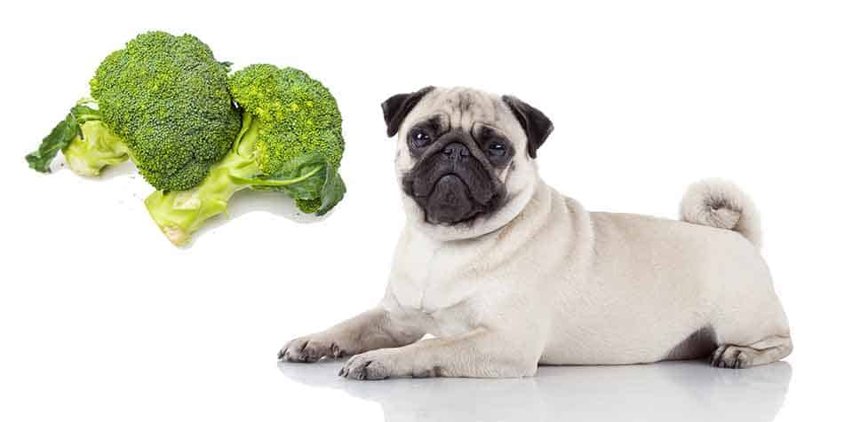 can pugs eat broccoli