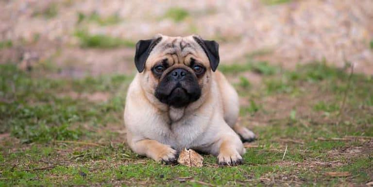can pugs eat chicken bones