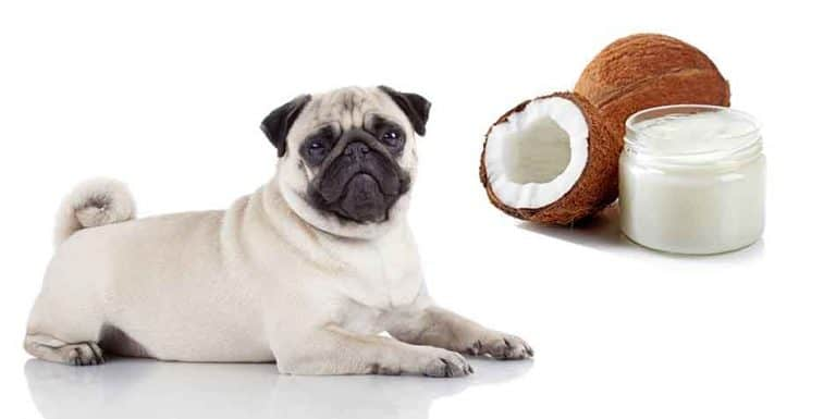 can pugs eat coconut oil