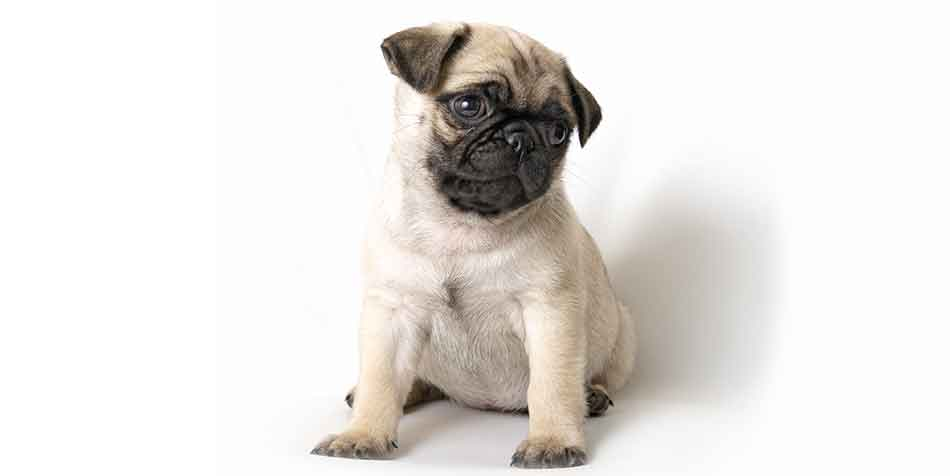 can pugs get pimples