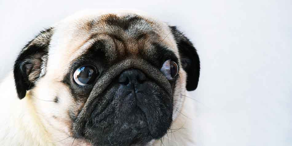 how to clean a pugs nose