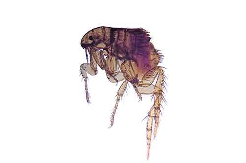 what do fleas look like