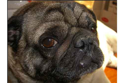 what does pug acne look like