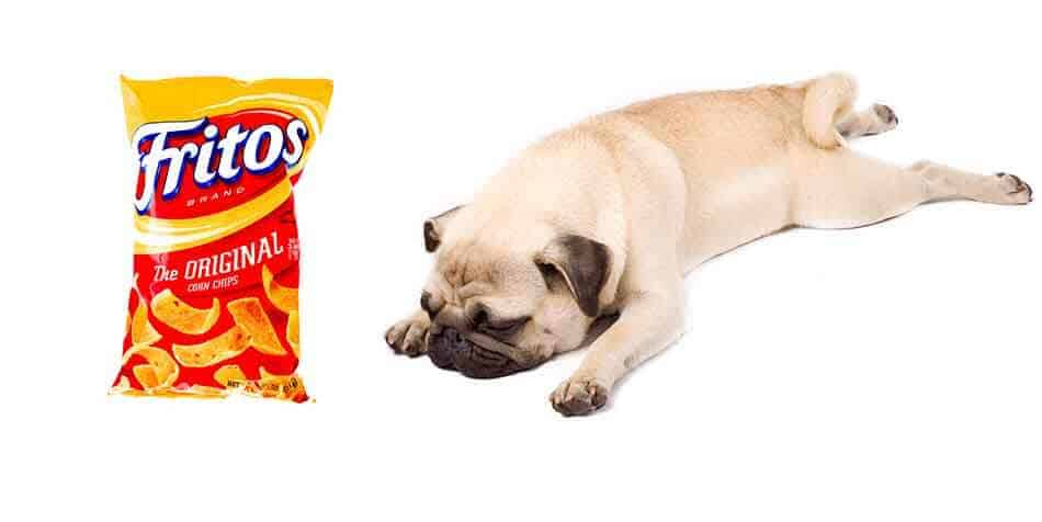 why do pugs smell like corn chips