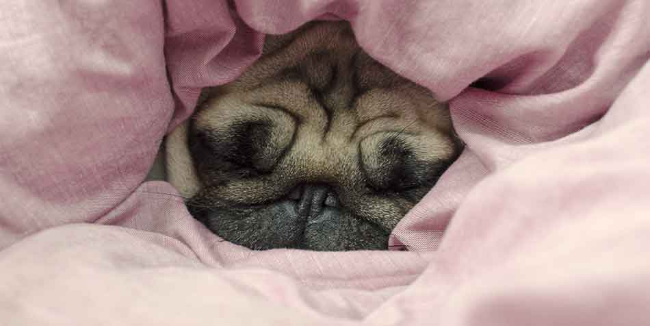 Why Does My Pug Like To Sleep Under The Covers