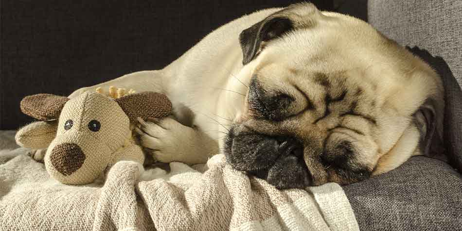 why does my pug shake when sleeping