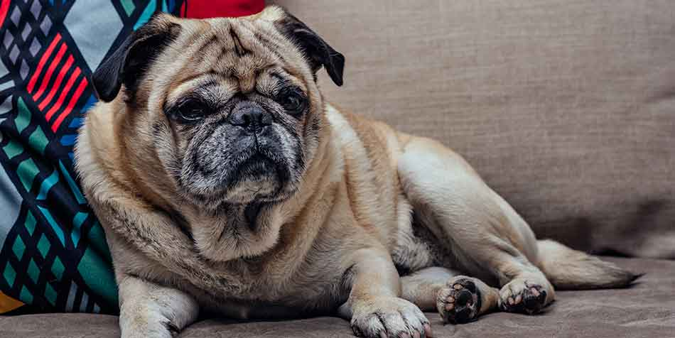 how do i know if my pug is dying