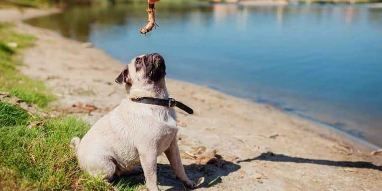 how to teach a pug to sit