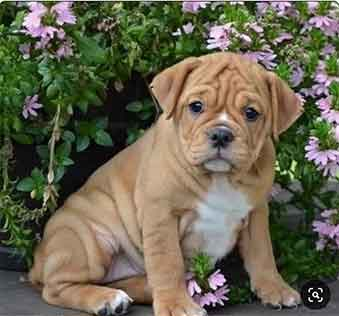 Pug English Bulldog Mix: A Look At This Popular Cross Breed
