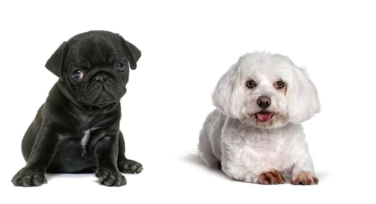 pug and maltese hybrid