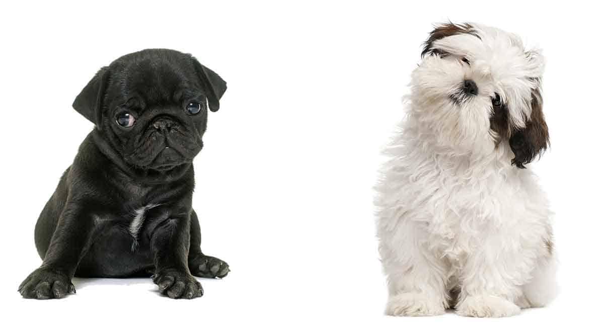 pug and shi tzu hybrid