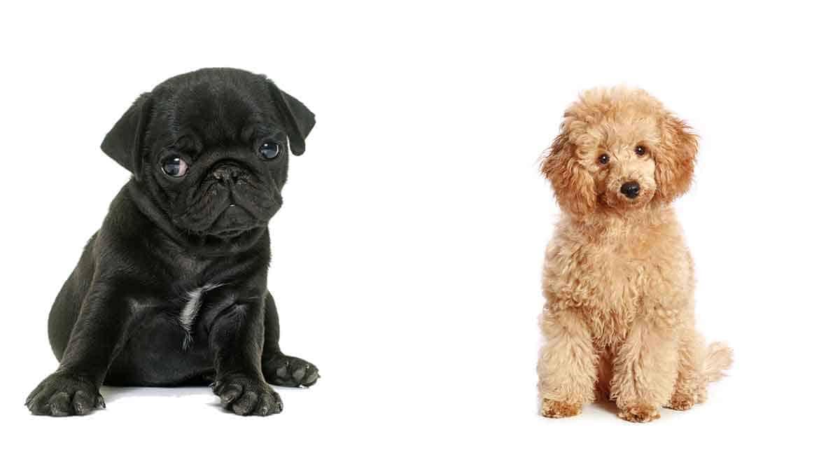 pug poodle hybrid mix