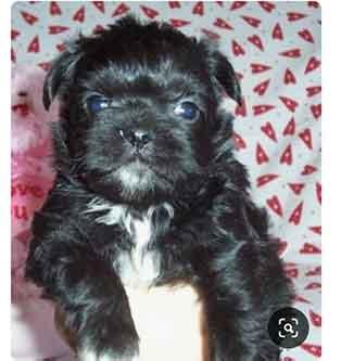 black and white malti pug