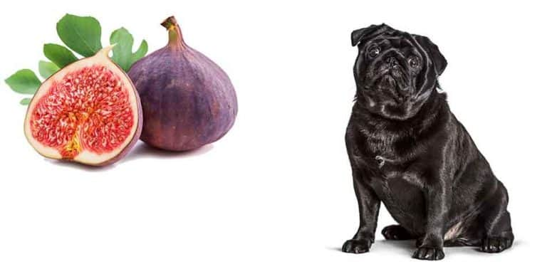 can pugs eat fig