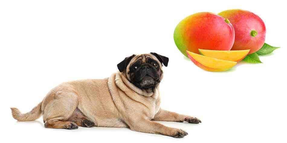 can pugs eat mango