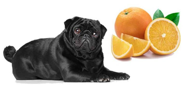 can pugs eat oranges