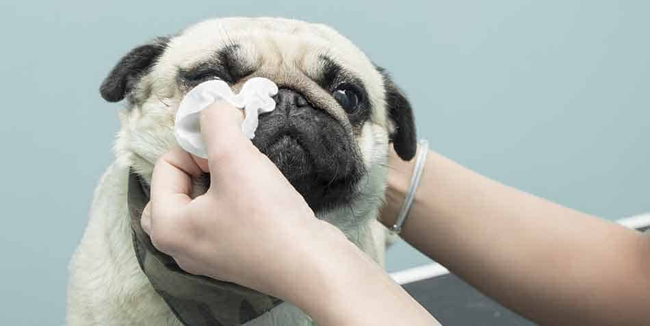 how to clean a pugs eyes