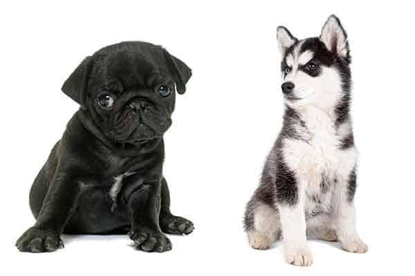 Husky vs Pug