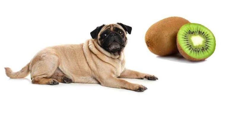 is kiwi safe for Pugs