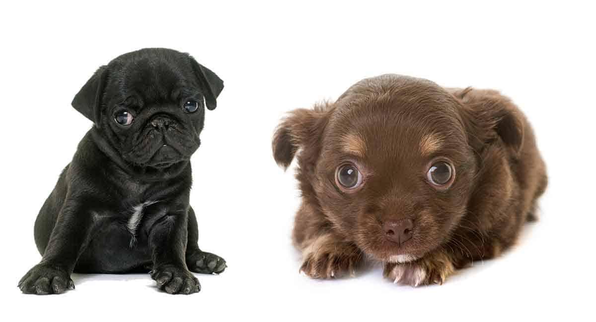 pug and chihuahua hybrid