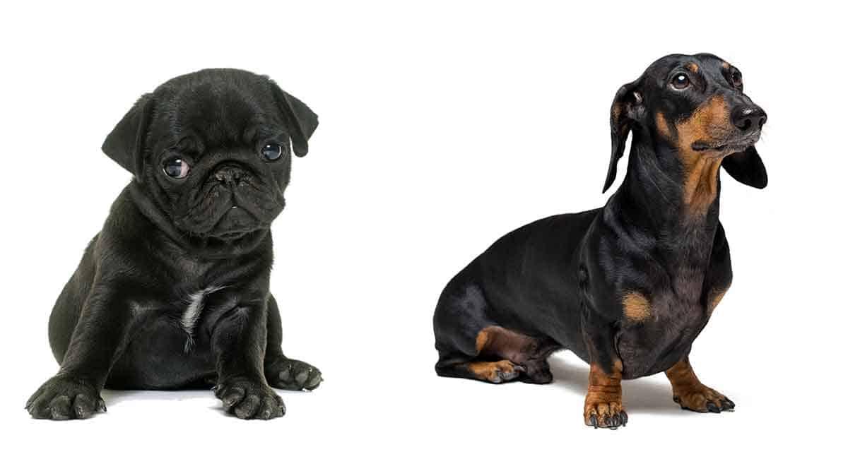 pug and dachshund hybrid