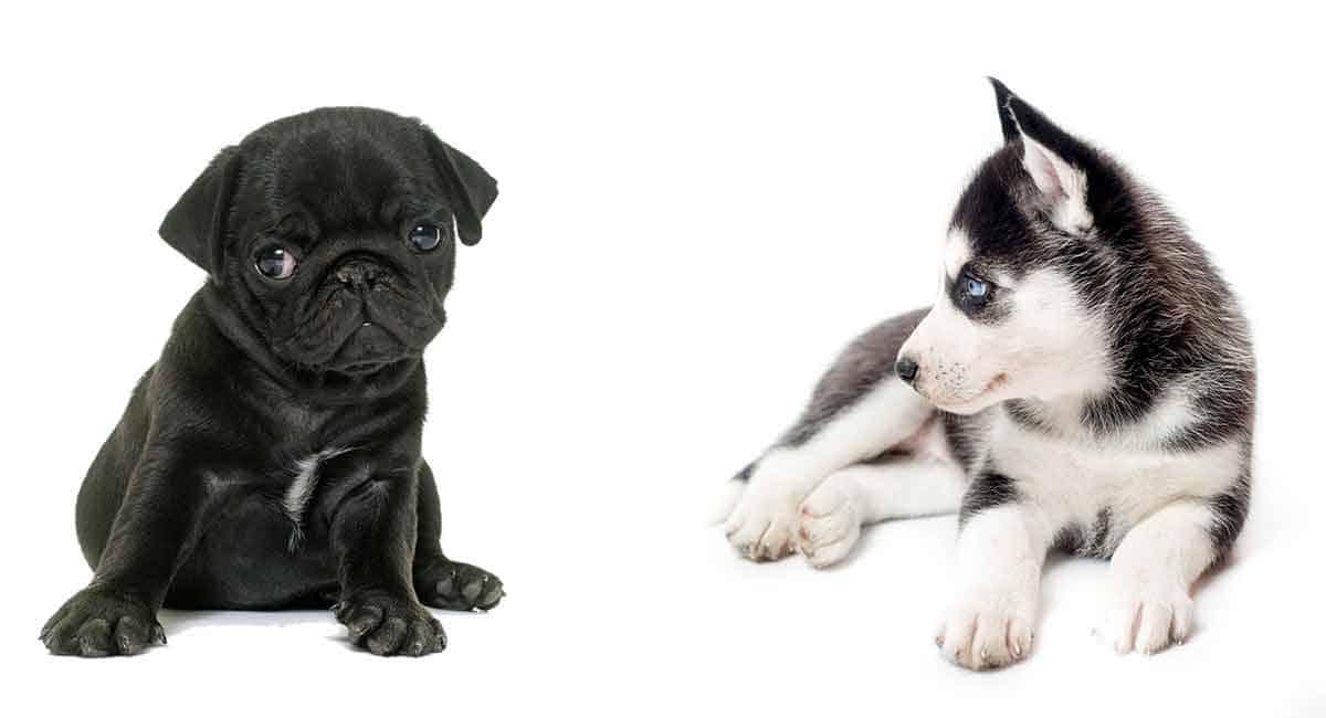Pug and Husky Hybrid