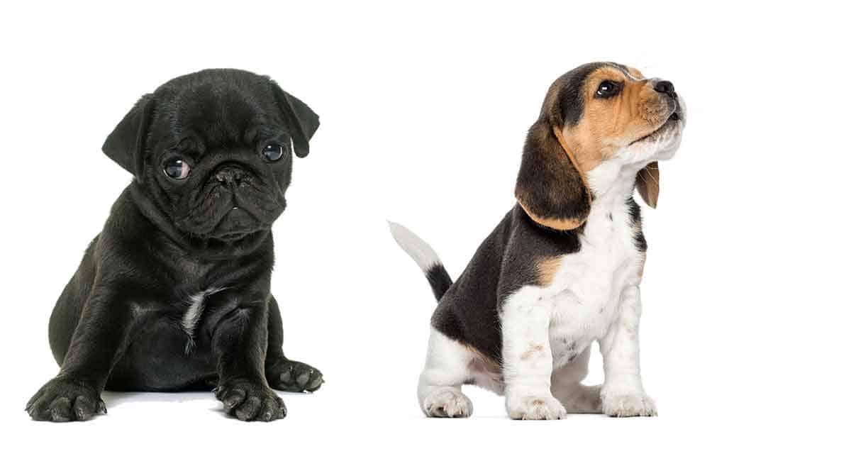 pug beagle hybrid mix