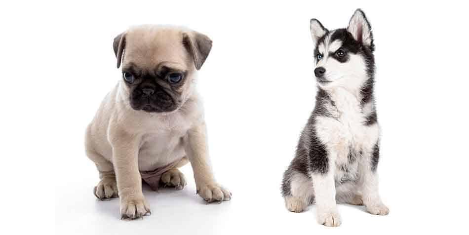 Pug vs Husky