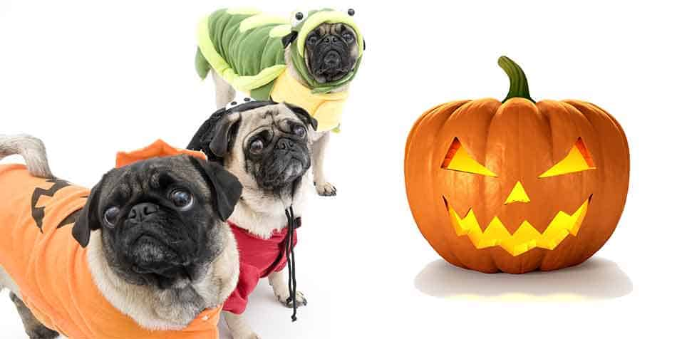 best halloween costumes for pugs