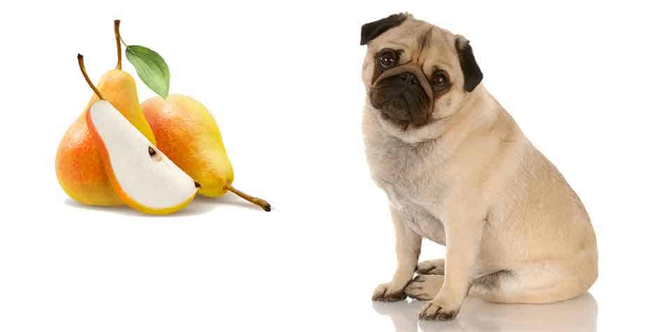 can pugs eat pears