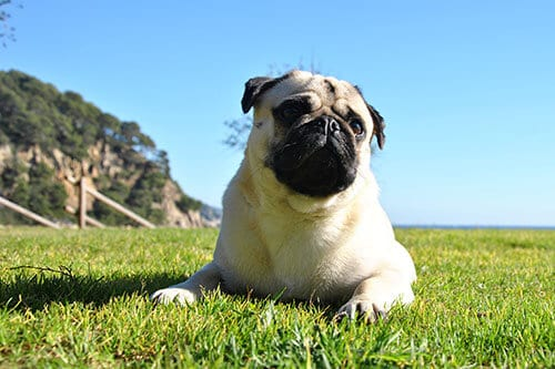 most common causes for rashes in pugs